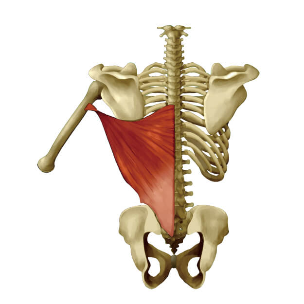 広背筋と骨